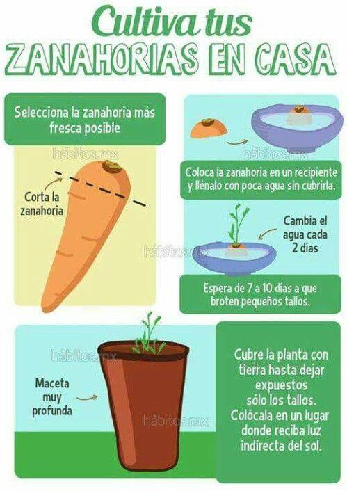 zanahoria cultivo