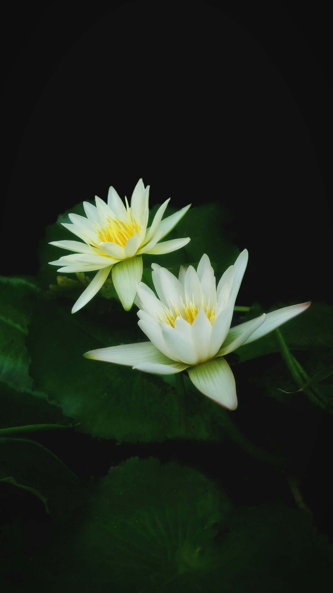 White Lotus Flower With Green Leaves And Black Background Flowers