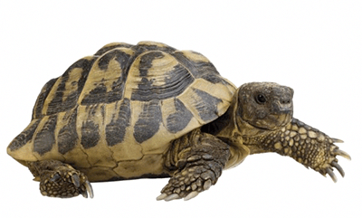 How To Properly Take Care Of A Big Tortoise Best Pets For Kids