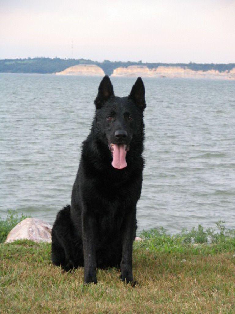 Black German Shepherd Black German Shepherd Dog German Shepherd Puppies German Shepherd Dogs