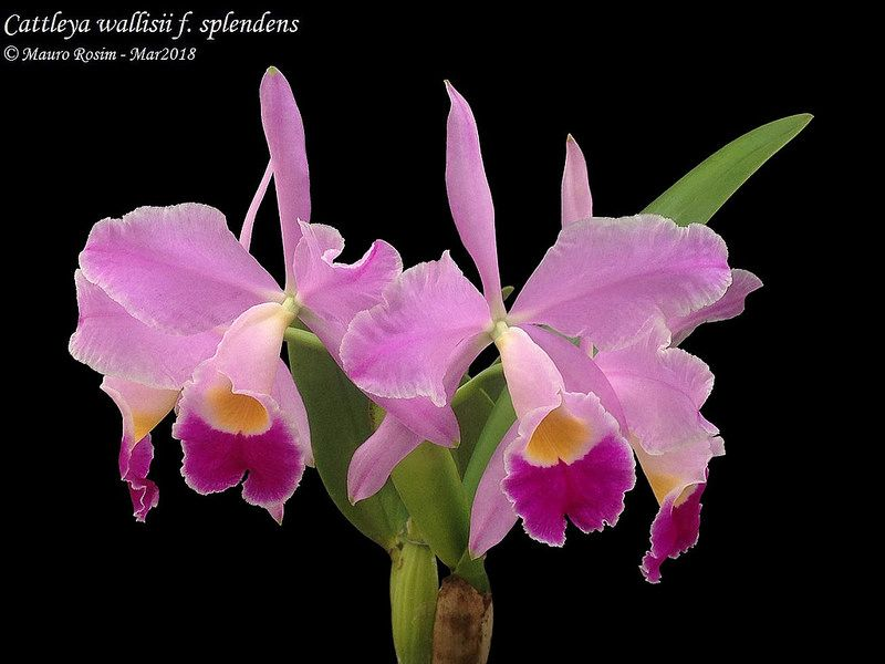 Cattleya Wallisii F Splendens Cattleya Cattleya Orchid Orchid Flower