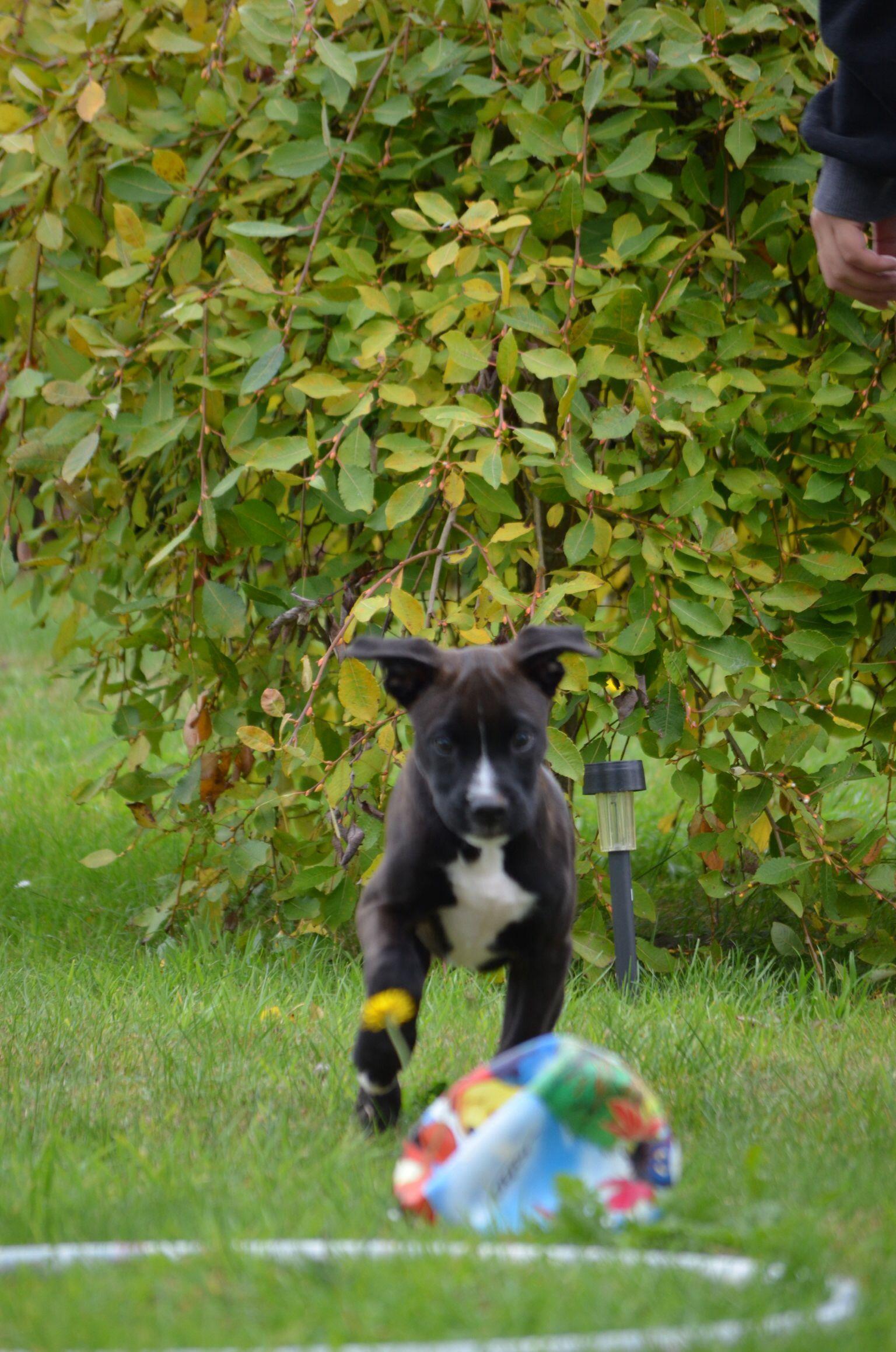 Boxer cross puppy