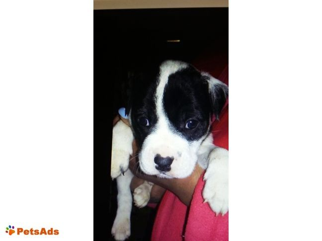 Pin On Pit Bull Puppies For Sale