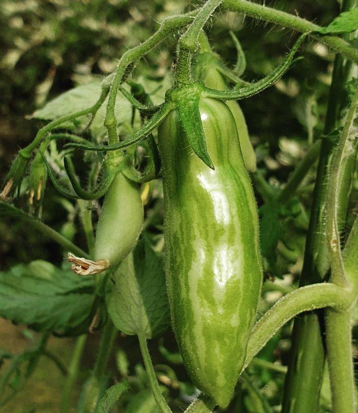 Die Green Sausage ist eine lustige Sorte. #tomate #tomaten #tomatenpflanzen #to  Die Green Sausage ist eine lustige Sorte. #tomate #tomaten #tomatenpflanzen #to  #  The post Die Green Sausage ist eine lustige Sorte. #tomate #tomaten #tomatenpflanzen #to appeared first on Pflanzen ideen. #tomatenpflanzen
