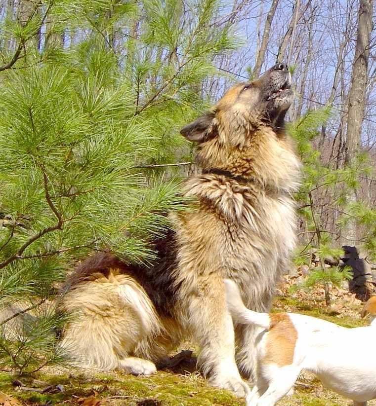 Selahs Large Long Coat Old Fashioned Style Giant German Shepherd