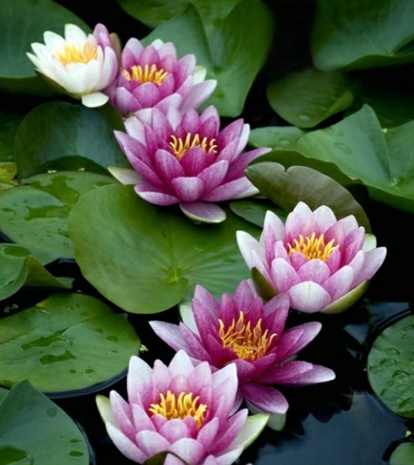 weiß lila #Seerosen anlegen #Balkon kleiner #Teich