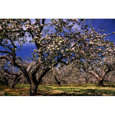 Apple Trees In An Orchard County Armagh Republic Of Ireland Canvas Art The Irish Image Collection Design Pics 18 Irish Images Republic Of Ireland Canvas Art