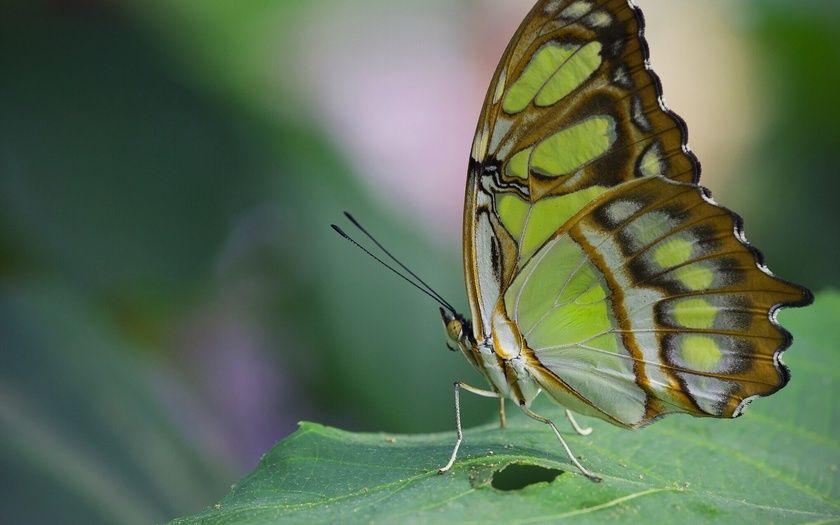 Малахитовая бабочка, лист, макро, бабочка (Có hình ảnh)