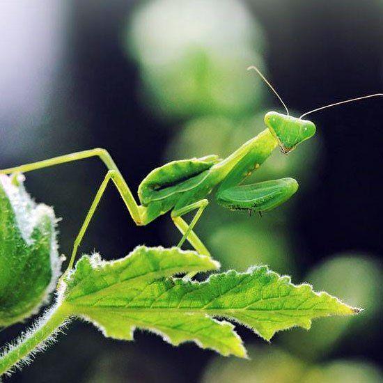 Praing Mantis (Tenodera aridifolia sinensis Praying