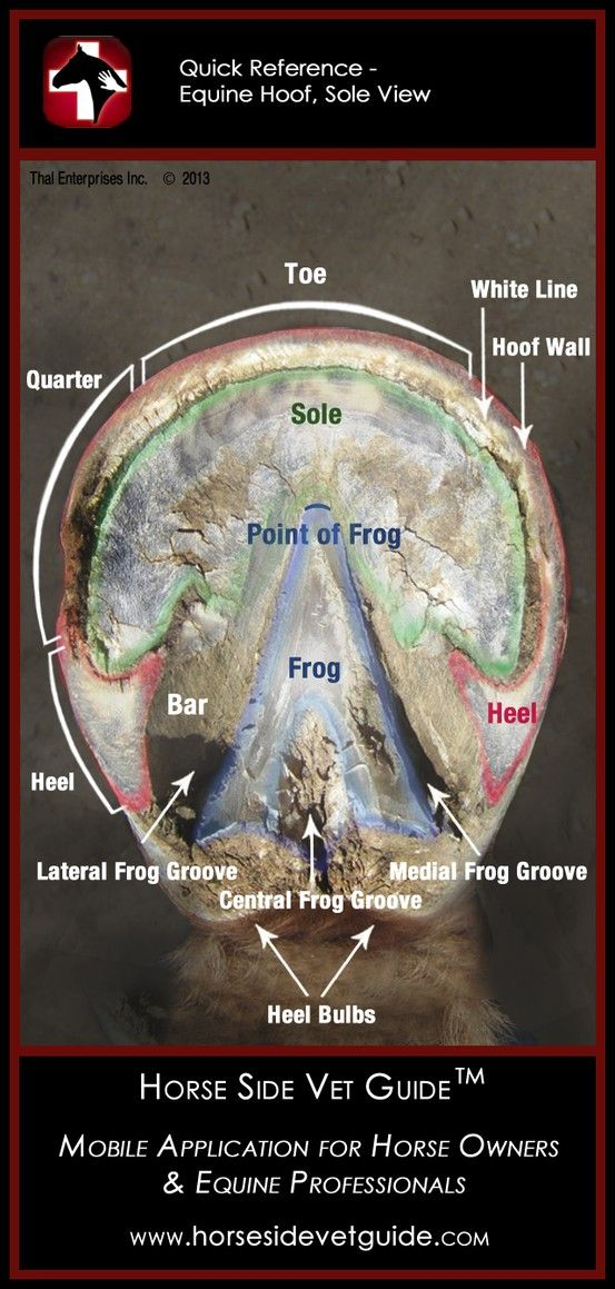 Horse Side Vet Guide - Quick Reference - Equine Hoof Sole Anatomy ...