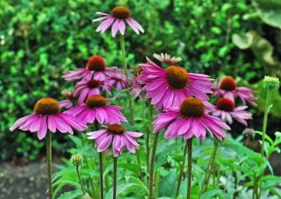 Purple Coneflower Echinacea Purpurea The Plant Also Provides A Tall Background Or Repeating Rows Of Large Often 6 I Annual Plants Fall Plants Zinnia Flowers