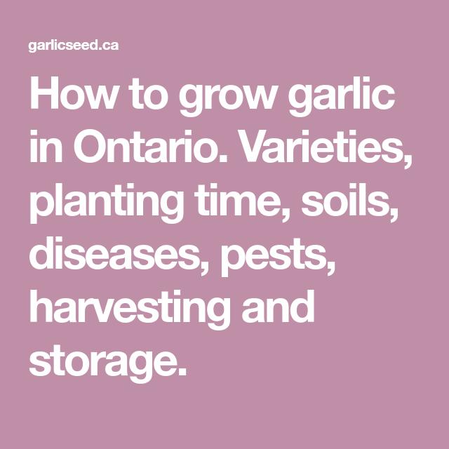 How To Grow Garlic In Ontario Varieties Planting Time 400 x 300