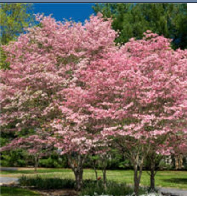 My dream house WILL have dogwoods. Pink and white. Lining