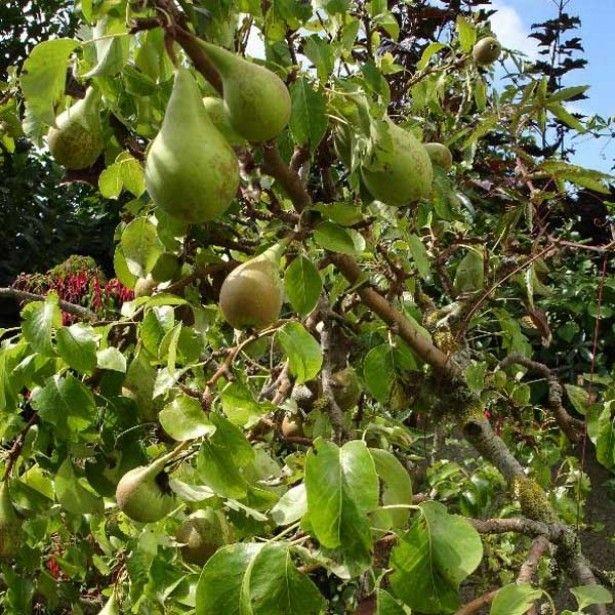 poirier conf rence jardin fruit et apple. Black Bedroom Furniture Sets. Home Design Ideas