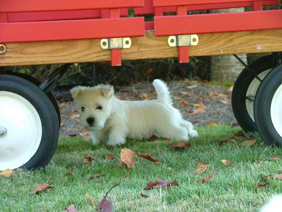Puppie From Cascading Westies Of Georgia Really Cute Dogs