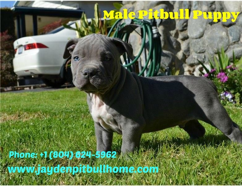 You Re Looking For A Playful Pitbull Puppy Or Dog We Have The