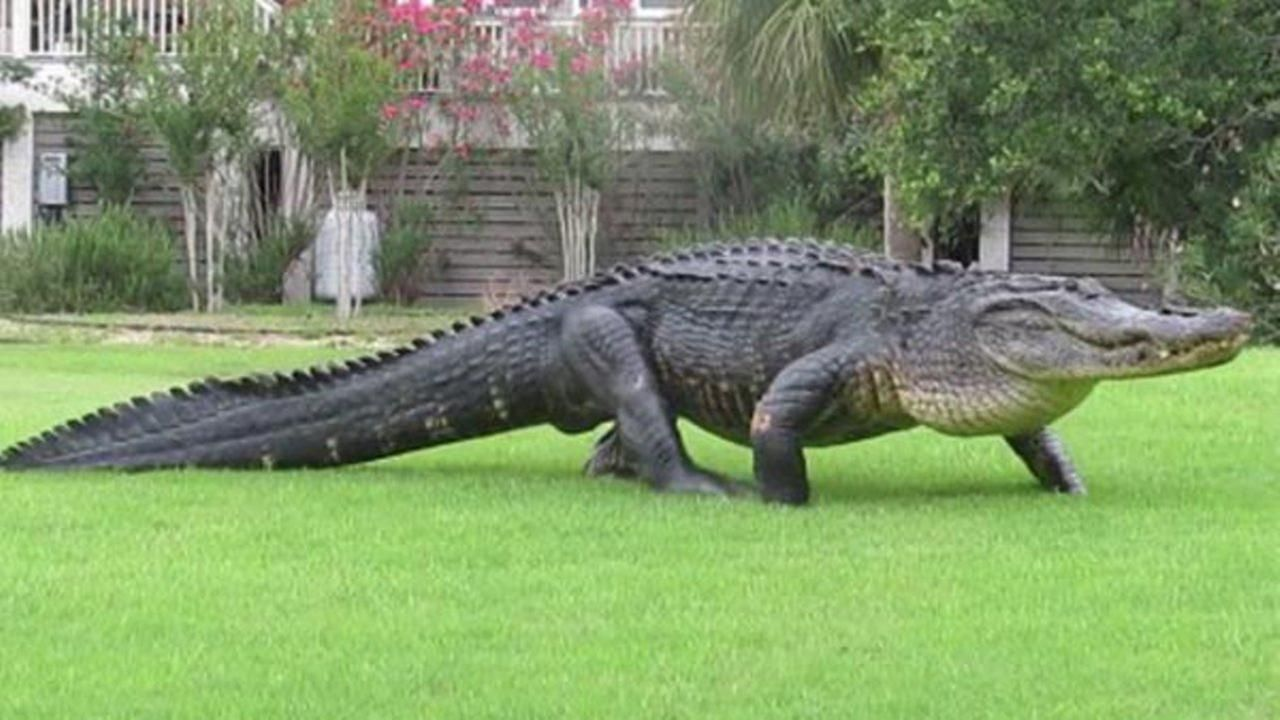 Image result for alligator American alligator, Alligator