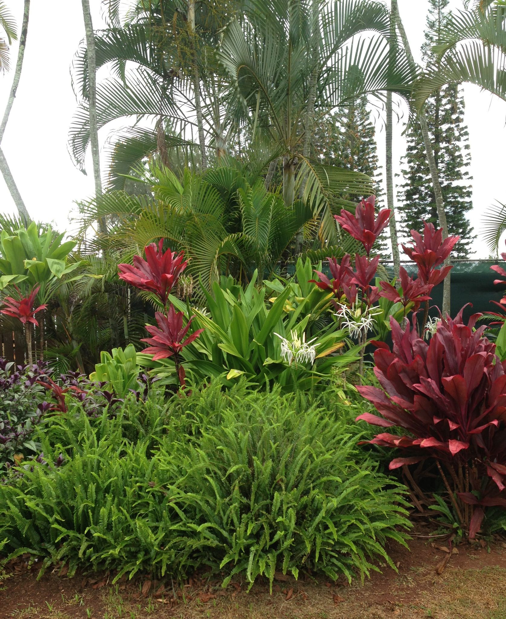 red ti plants
