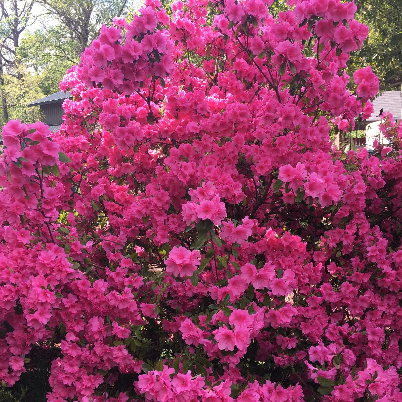 Grow Beautiful, Colorful, Full Azaleas With Nutristar For Azaleas,