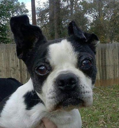 Boston Terrier Puppies Akc Puppyfinder