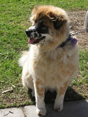Saint Bernardaustralian Shepherd Mix Dog Breed Mixes And Mutts