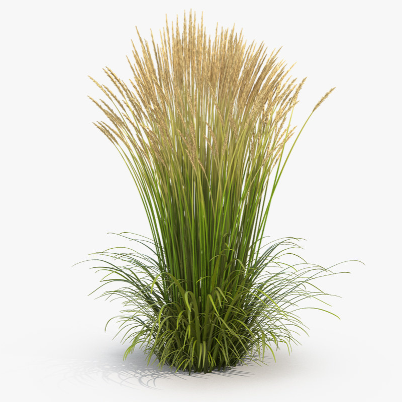 Karl Foerster Feather Reed Grass Feather Reed Grass Grass Photoshop Ornamental Grasses