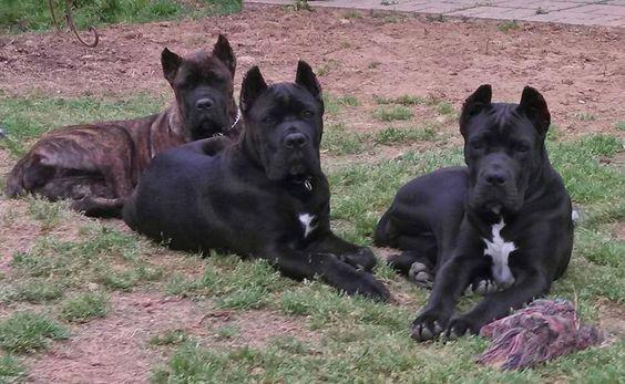 Pin By Kiza Jovanovic On Italian Mastiff Cane Corso Corso Dog Italian Mastiff Puppies