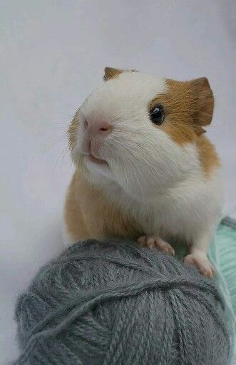 Found on the Guinea Pig Fun Facebook page. So cute. My boys would eat the yarn.