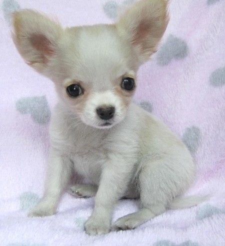 tiny cute little chihuahua puppy Teacup chihuahua