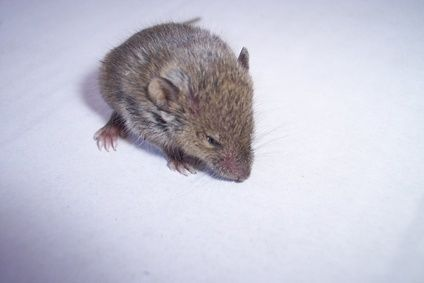 How to Get Rid of the Urine Smell From Mice | helpful hints