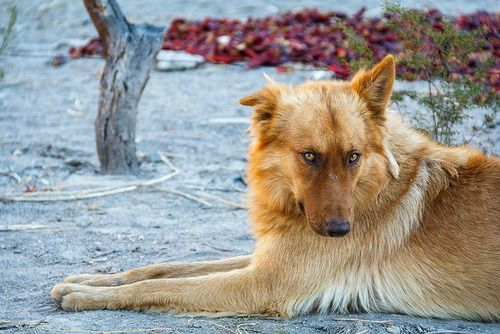 Gorgeous dog. Such a coy look! By klausbalzano on Flickr.