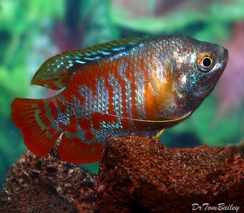 Male Peacock Dwarf Gourami, Featured item. #male #peacock #dwarf #gourami #fish #petfish #aquarium #aquariums #freshwater #freshwaterfish #featureditem