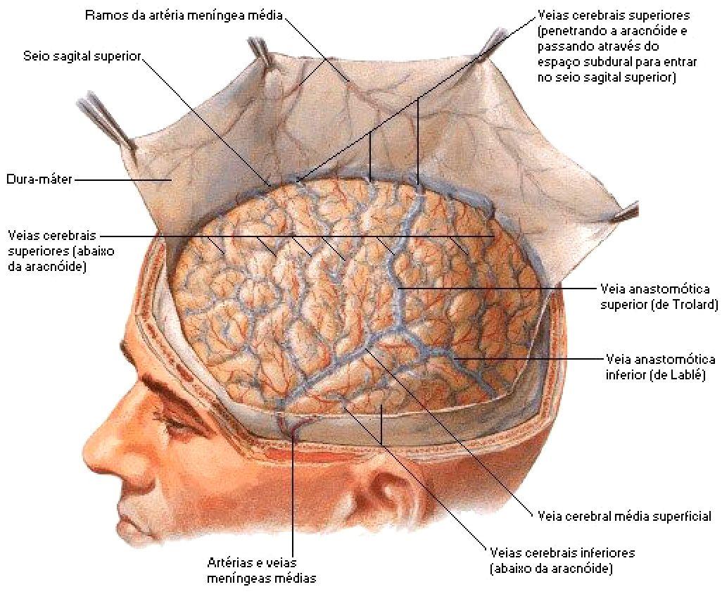 Cranial Dura Mater\