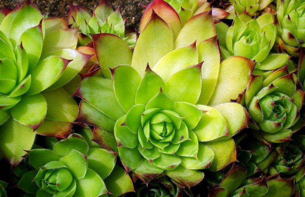 Rojniki Sukulenty Idealne Do Ogrodu I Na Skalniak Succulents Plants Vegetables
