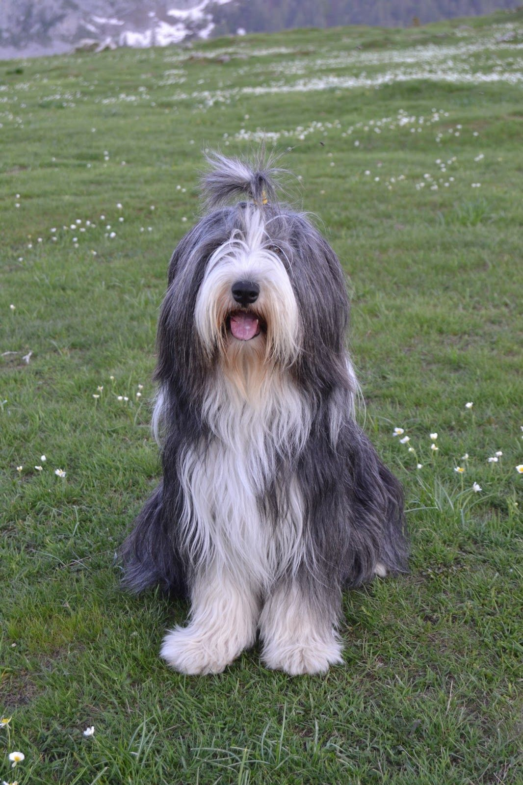 Nina Bearded Collie Dog Black And White Www Labandedesfaineantes Blogspot It Dog Bearding Bearded Collie Collie