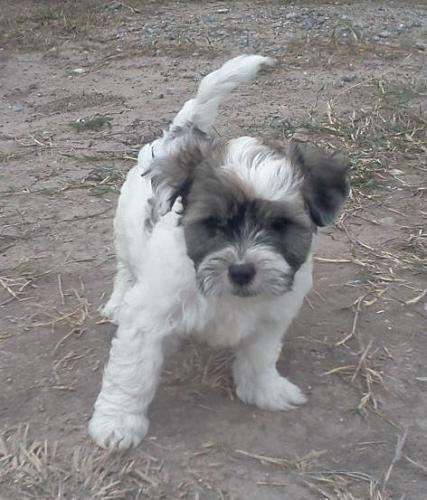 Dex Maltese Rescue Dog For Adoption In Mckinney Texas United