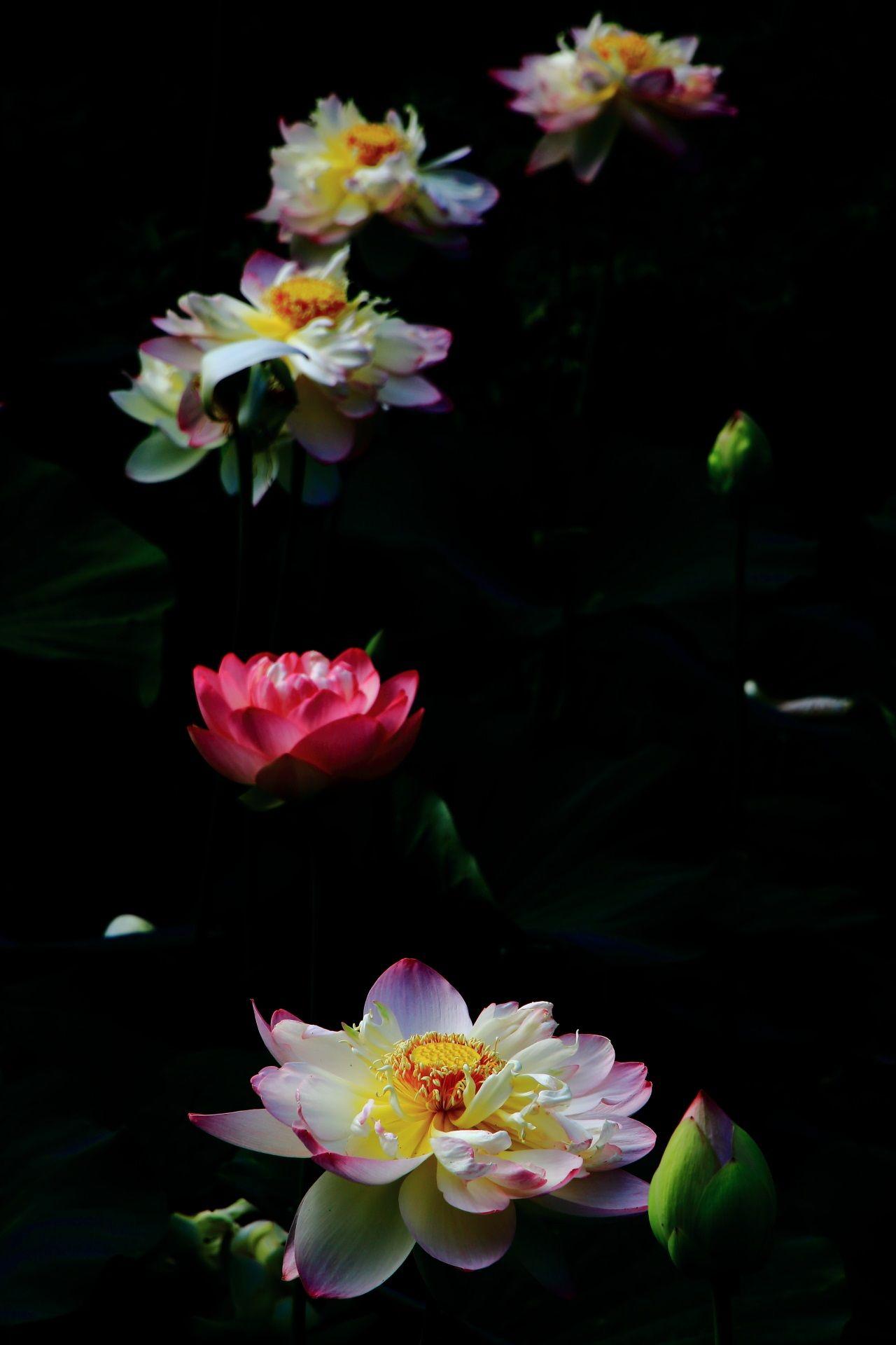 智積院 蓮 咲き誇る白とピンクの輝くハスの花 蓮の花 睡蓮 花言葉