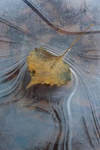 Photographic Print: Utah, Natural Bridges National Monument. Leaf with Frozen Ice Pattern by Judith Zimmerman : 12x8in