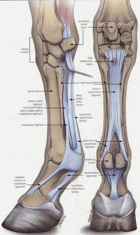 Anatomy every horse owner should know! The Equine Lower Front Leg ...