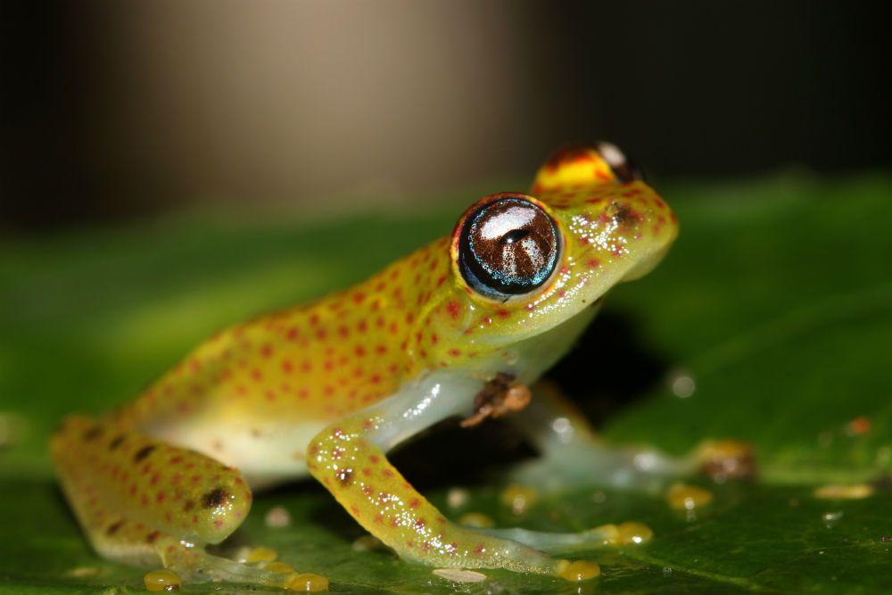 Boophis bottae mesure environ 24 mm. Son dos est vert clair tirant sur le jaunâtre sur les flancs ; une ligne longitudinale jaune parcourt le dos jusqu'aux membres antérieurs, parfois l'ensemble du dos. Des motifs de couleur brun roux, noir, rouge brillant et jaune, complète sa livrée. Son ventre est transparent.