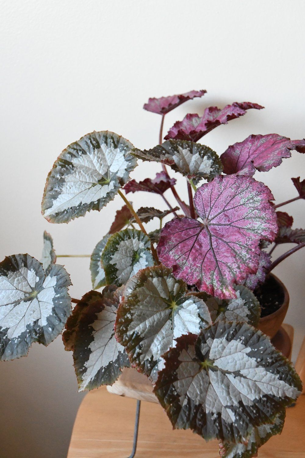 Begonia Jurassic Red Splash With Begonia Starry Nights Houseplants Indoor Apartmentjungle Botanical Bun House Plants Little Plants Begonia Maculata
