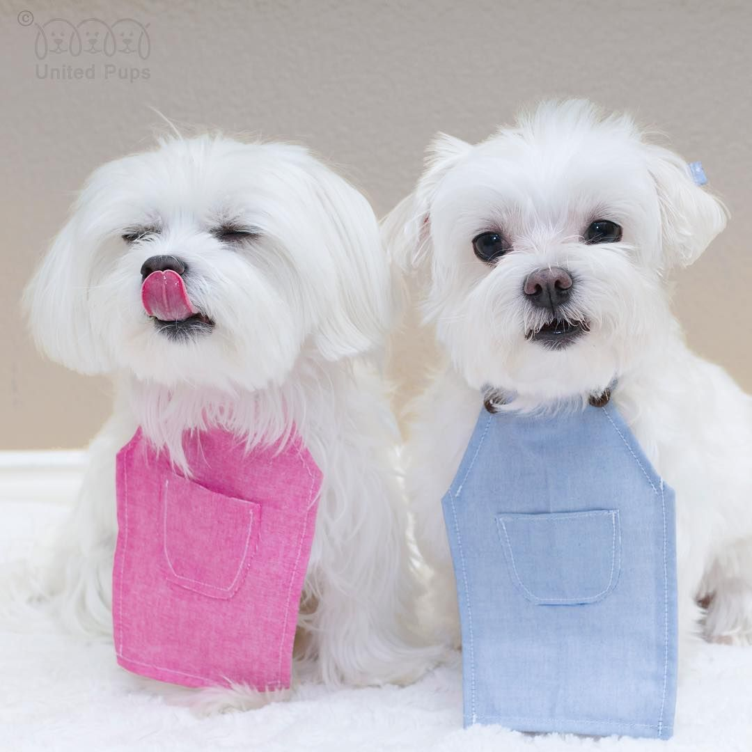 Happy Tongueouttuesday Dog Lovers Dogslifemag Maltese Dogs