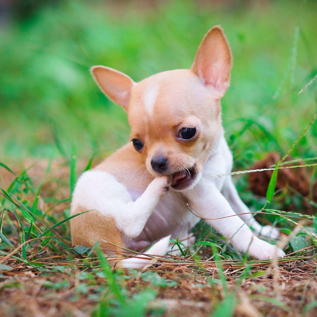 Pocket Size Chihuahua Puppy Very Small Baby Chihuahua Chihuahua