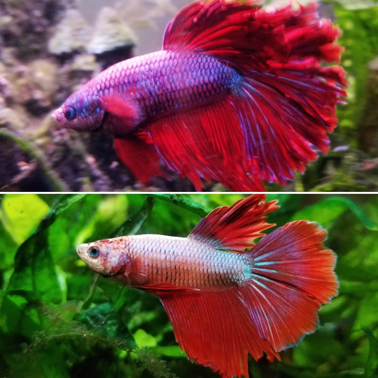 10 month Dragon Scale Betta transformation! | Aquariums | Pinterest ...