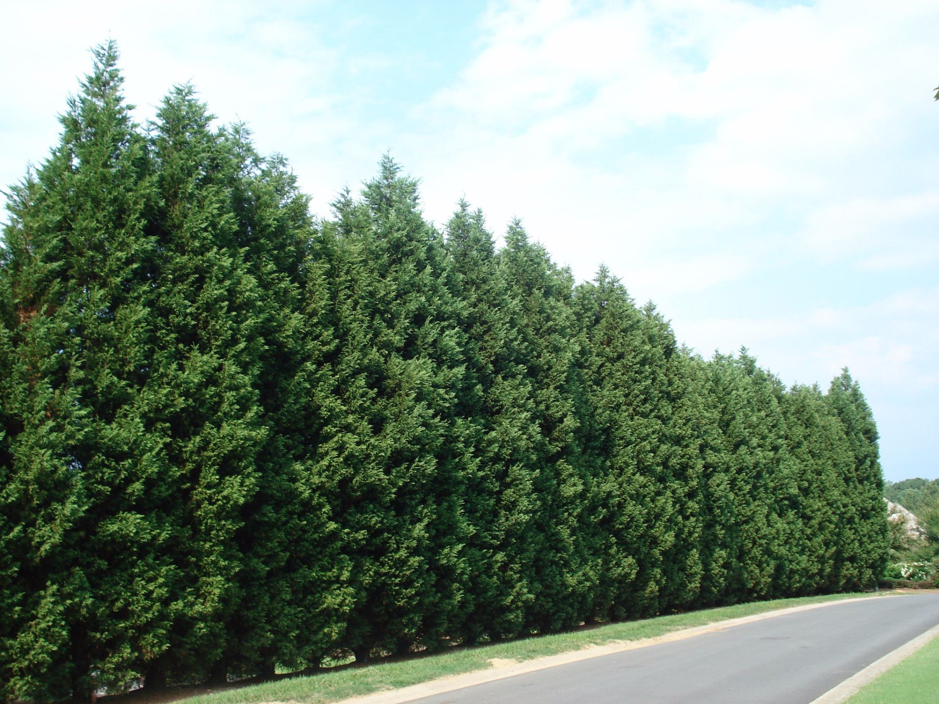 Leyland cypress tree fast growing evergreens fast for Fast growing trees