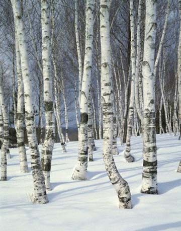 Photos Of White Birch Trees In The Winter Birch Trees In Winter