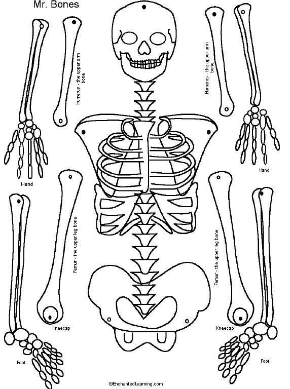Squelette Construire School Pinterest Apologia Anatomy
