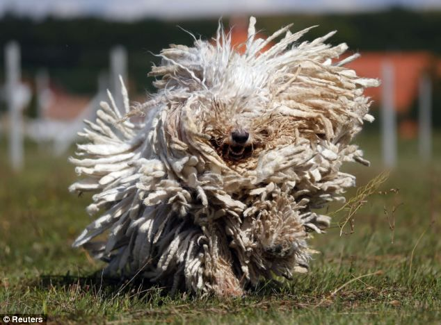 The Dogs That Look Like Mops Komondors Dog Shaking Komondor