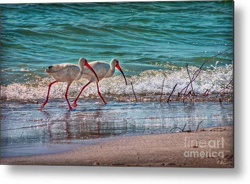 Ibisse Metal Print featuring the photograph Beach Jogging In Twos by Hanny Heim, Snowbird Photography #florida #animals #birds #stpetebeach #ibisses