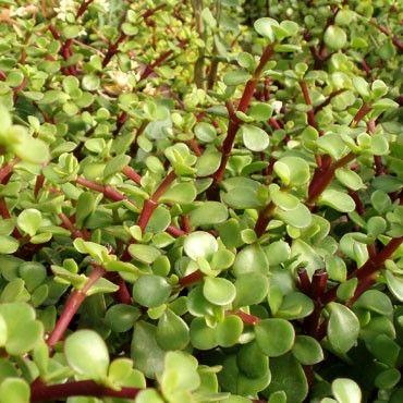 portulacaria afra 39 green 39 elephant bush miniature jade fascinating soft succulents. Black Bedroom Furniture Sets. Home Design Ideas